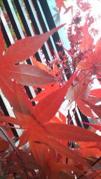 モミジの花20110423