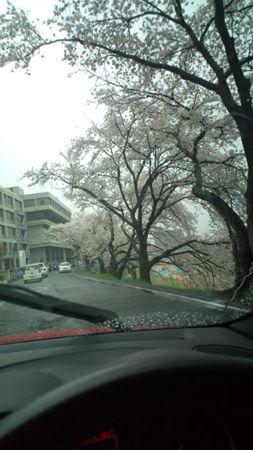 雨サクラ20120411